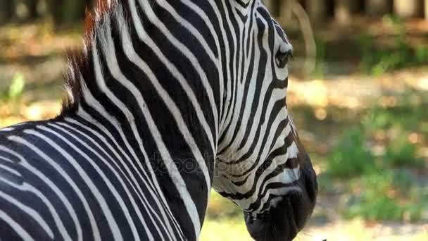 Csíkos Zebra áll az állatkert egy napsütéses napon, nyáron a lassú mozgás