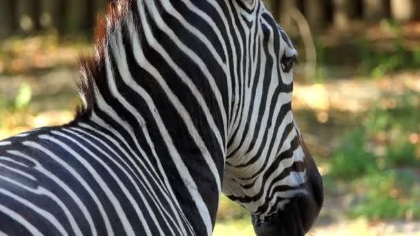 Pruhovaná Zebra je záběr zezadu a stojí v Zoo v létě v pomalém pohybu