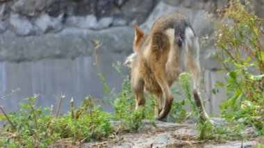 A Gray Wolf Walking Around Some Big Stone in a Zoo in Summer in Slow Motion