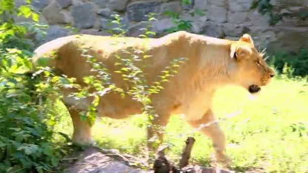 sonniger Löwe sexy Videoclip