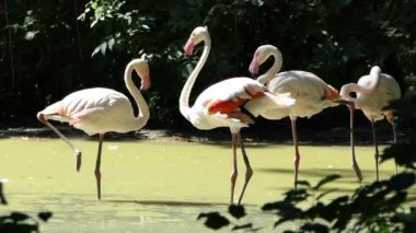 Fine Flamingoes Stand Together in a Lake on a Sunny Day