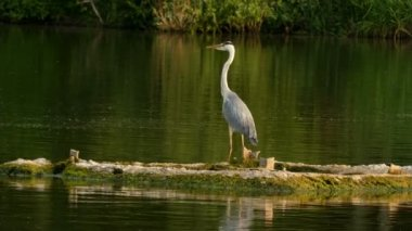 Amazing big heron standing on the island on the lake during wind.