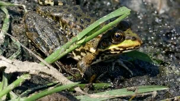 4k - der grüne Frosch sitzt im Schlamm.