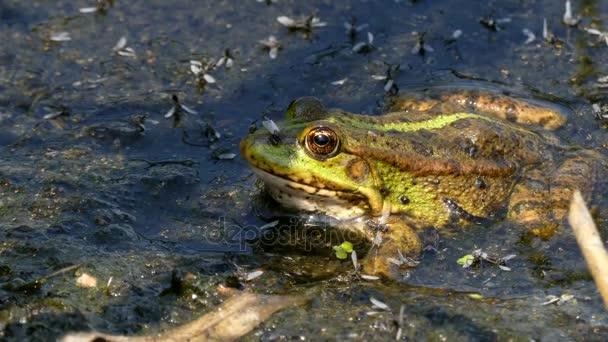 Nahaufnahme des grünen Frosches, der im Schlamm sitzt.