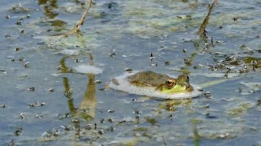 Amazing green frog laying on the water.