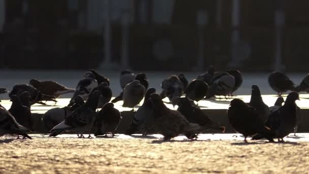 A flock of grey doves are standing on a sunny square in slow motion