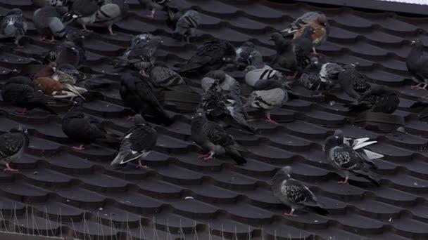 Hejno hrdliček šedá sedí na střeše a čistit jejich peří v slo-mo