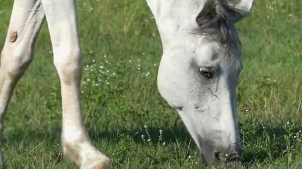 Bílý kůň je pastvy zelené trávy na trávníku za slunného dne v pomalém pohybu