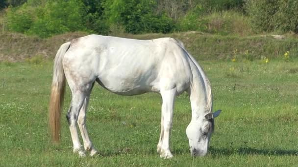 a Graceful White Horse is Grazing Grass on a Lawn on a Sunny Day in Slo-Mo