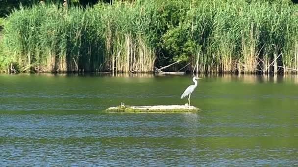 Osamělý bílý shadoff stojí na ostrůvku v některých řeky s rákosím