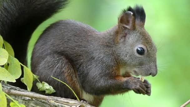 Egy vicces fekete mókus eszik egy repedt dió egy gally, slo-Mo