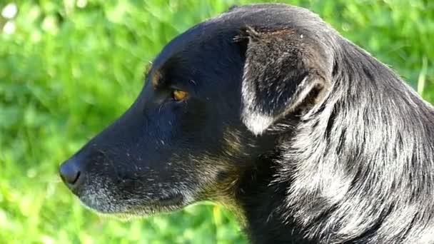 Velký černý pes leží na zeleném trávníku za slunného dne v slo-mo