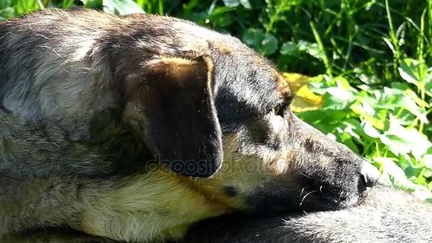 Velký vícebarevný pes leží na zeleném trávníku za slunného dne v slo-mo