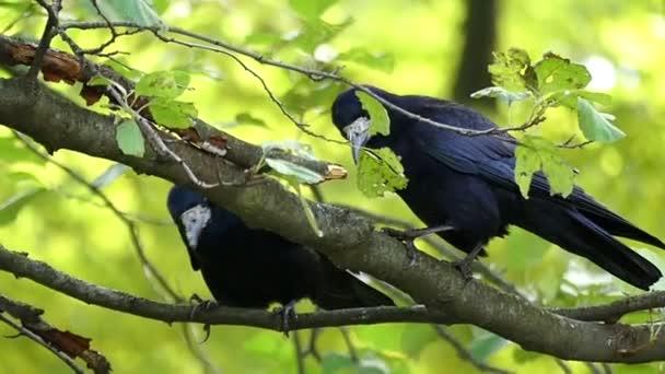 Dva crows sedí na větvi a čistit jejich zobáky v slo-mo