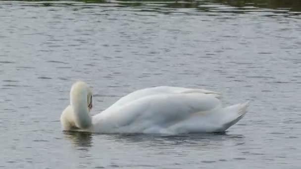 Egy gyönyörű fehér hattyú úszik egy tóban, és tisztítja a toll