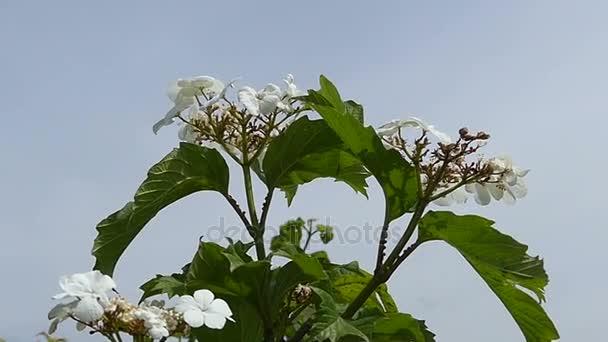 Bílá pole květinu s pěti okvětními lístky a zelené listy v létě