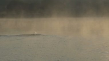 Sportive man swims crawl in a nice lake at sunset in slo-mo