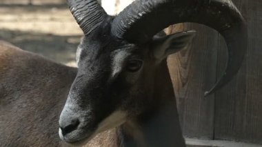 A brave black ram stands and looks right and left in a zoo in slo-mo