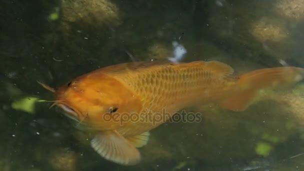 Golden carp kinyitja a száját, a tó felszínén