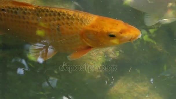 Golden carp úszik, és kinyitja a száját, a tó felszínén