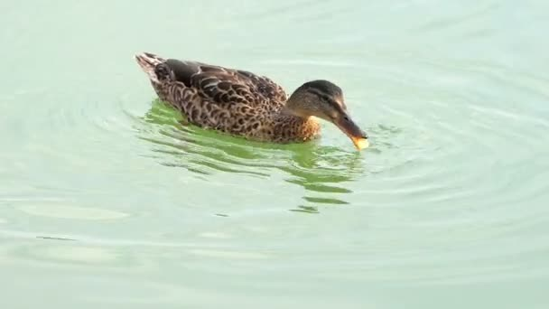 A multicolored duck floats happily in lake waters in slo-mo
