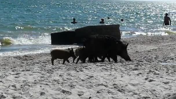 Farrow selata a divočák na pobřeží s lidmi