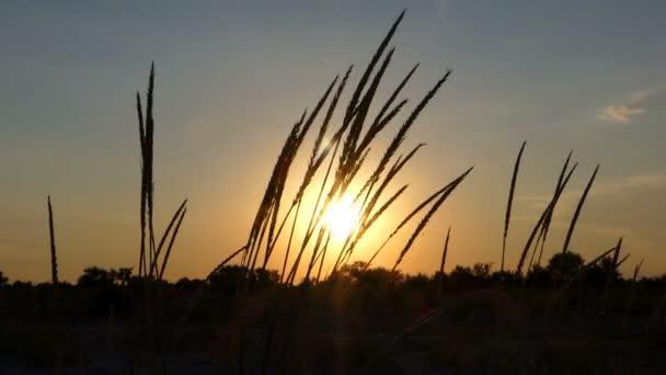 Divoká tráva klásky pokrývají oblasti při západu slunce