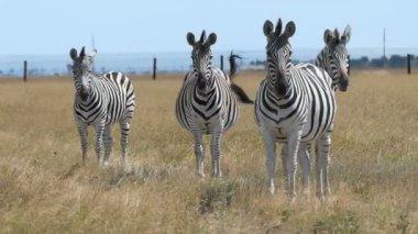 Herd of striped zebras look forward on a ripe lawn in slo-mo