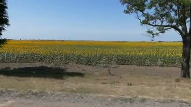 A sunflower field from a window of a fast moving car in Ukraine