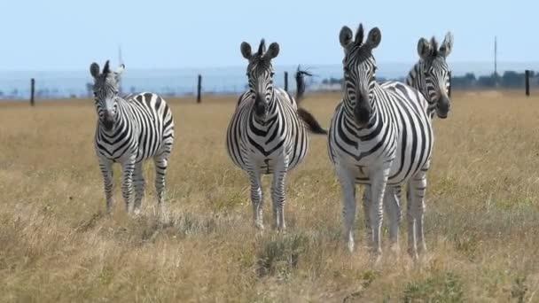 Várom csíkos Zebra csorda egy érett gyepen slo-Mo