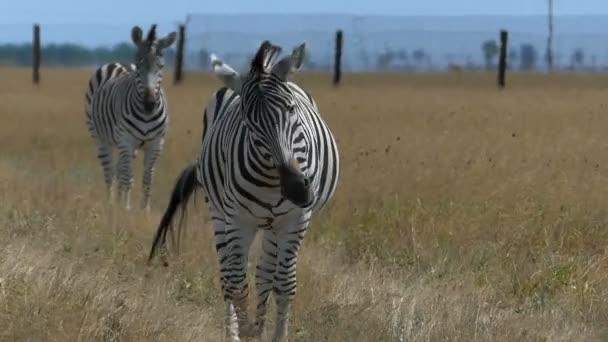 Egy gyönyörű zebra megy egy operatőr, integetett a sörényét, slo-Mo