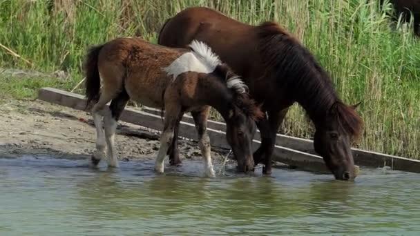 Pony koně s hříbě pije vodu v jezeře v létě v slo-mo
