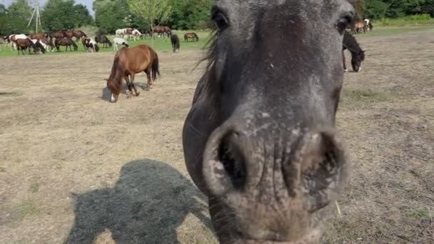 A closeup of a grey horse smelling camera on a lawn in slo-mo