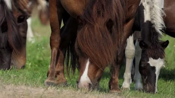Hnědý a bílý poník koně žerou trávu na trávníku v slo-mo