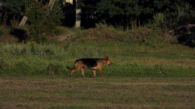 A big black and brown mongrel runs along a lake bank in slo-mo