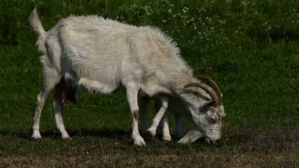 Nany kozí a kůzlečí pást trávu na zeleném trávníku v slo-mo