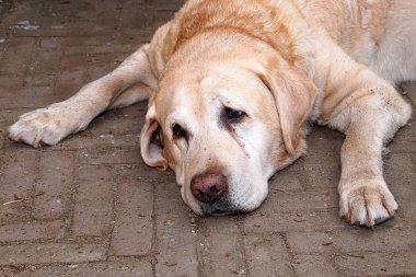 tired dog on street