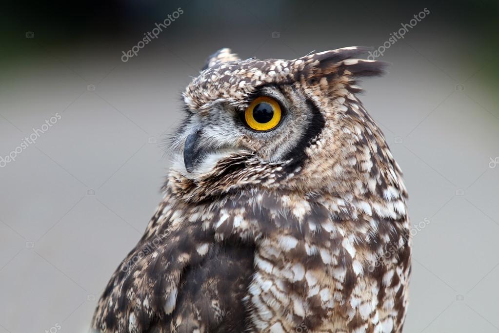 серая сова скачать торрент - фото 4
