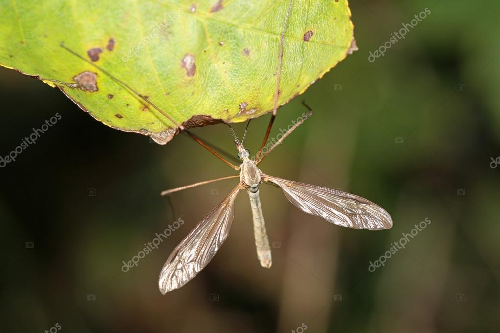 Crane-fly sitting on leaf