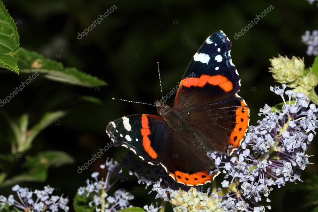 Atalanta butterfly sitting on flowers