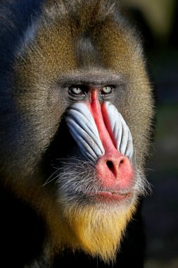 colorful Mandrill in zoo