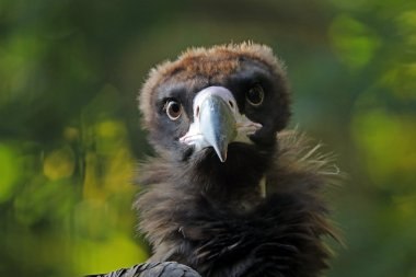 Cinereous vulture in zoo