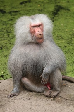 Close up of sitting baboon
