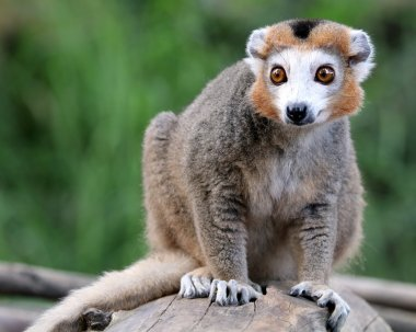 Crowned lemur on stub