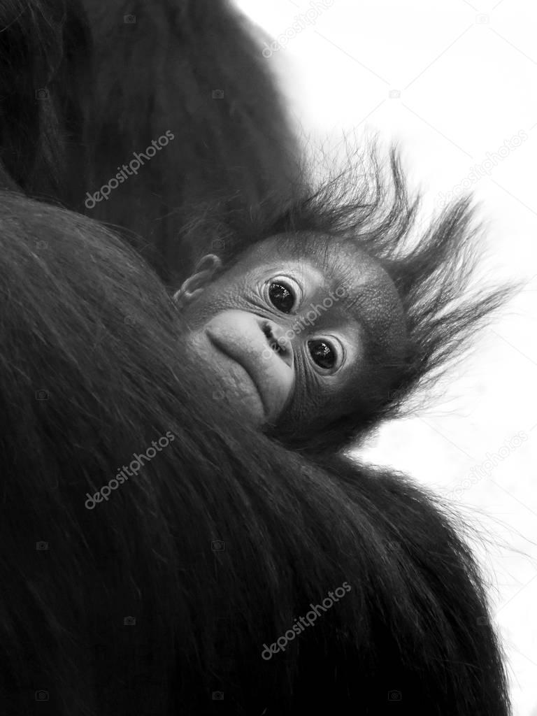 little Baby gorilla