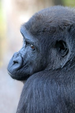 Black Gorilla youngster