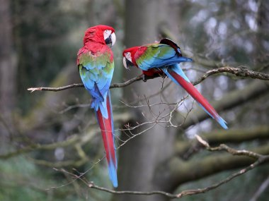 Macaw parrots on the tree