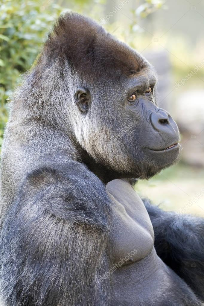 close up portrait of Gorilla