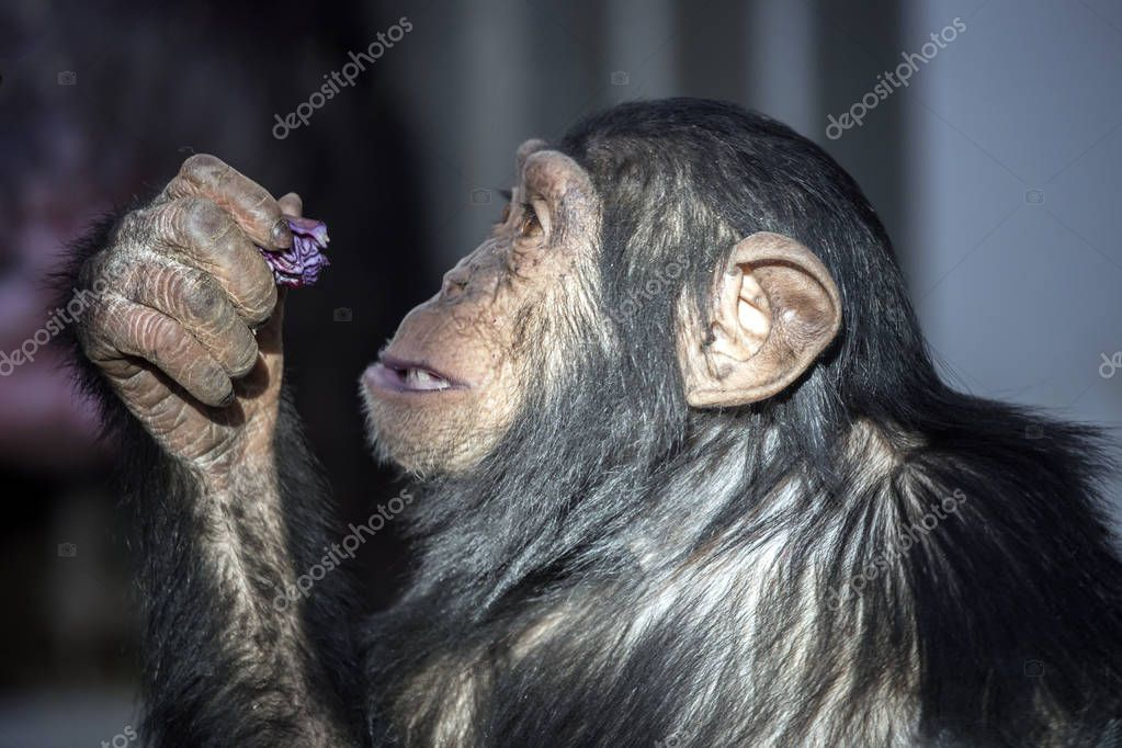 Chimpanzee eating cabbage