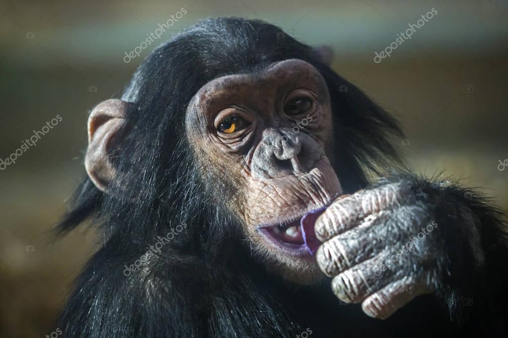 Chimpanzee in nature habitat